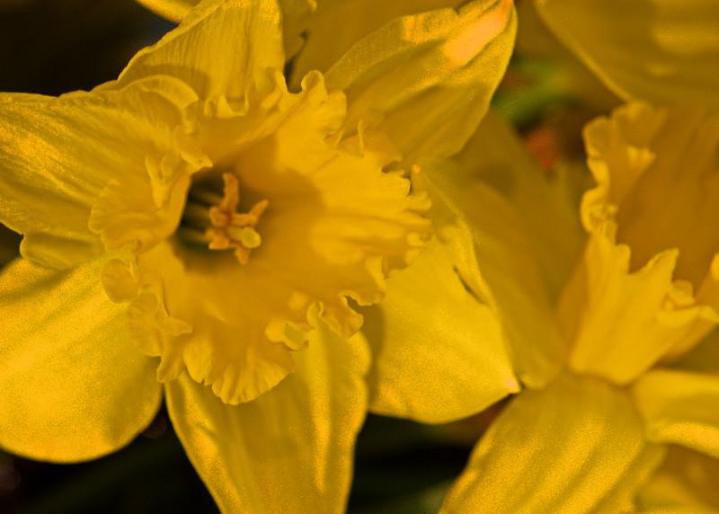 4/1  Daffodils