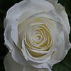 1/16   White Rose
