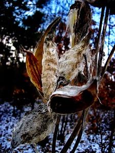 1/30  Milkweed Still Standing