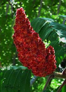 7/13   Red Sumac Seeds