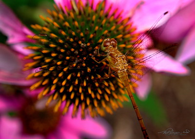 7/23   Dragon Fly on Purple Coneflower
