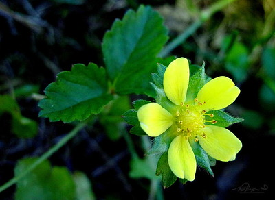 7/7   Common Cinquefoil in Lawn