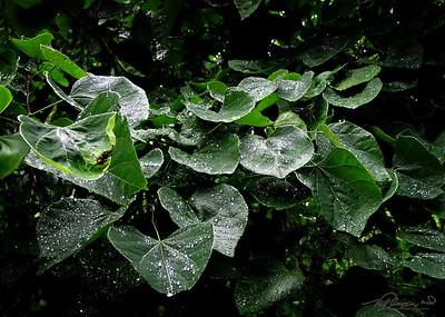 7/22   Glistening Leaves