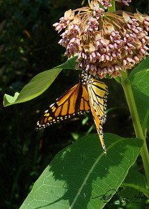Monarch On Our Milkweed