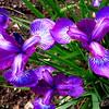 6/2   French Irises