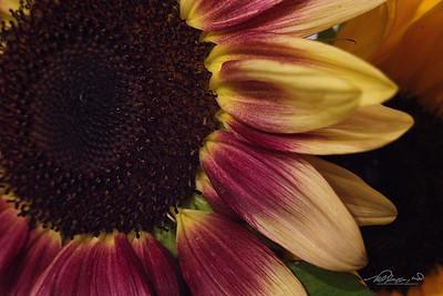6/16   Red Sun Flower