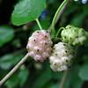 6/19   Mulberries