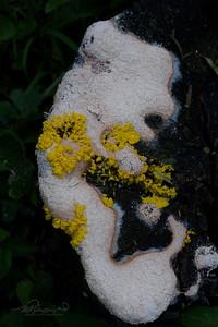 Slime Fungus On Old Stump