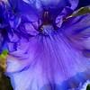 6/1   Hybrid Blue Iris