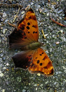 Question Mark Butterfly - I think