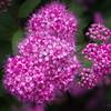 6/14   'Double Play' Pink Spirea