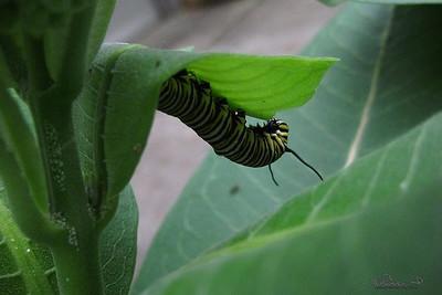 6/11  Monarch Larva On Our Milkweed