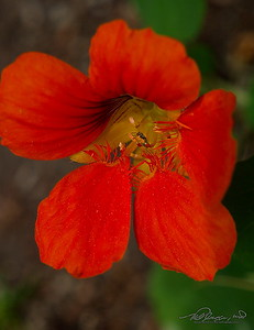 6/22  Nasturtium Finally blooming