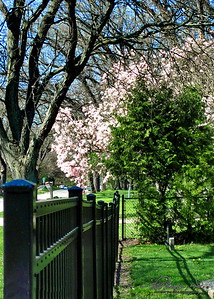 5/4    Fence Friday with a Beautiful Magnolia Tree in Background