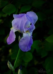 5/23  Old Fashioned Blue Iris