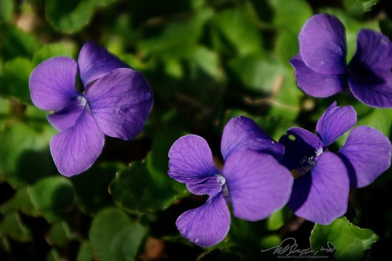 5/1   Sweet Violets