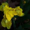 5/15   Yellow Iris