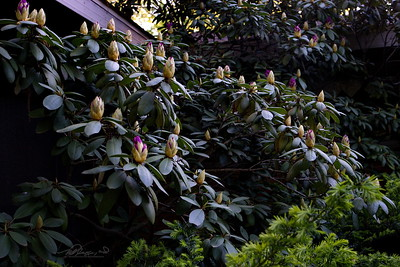5/24   Rhododendron Getting Ready to Bloom