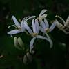 5/20  Honeysuckle Is a  Bloomin'