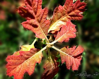 5/8  New Oak Leaves
