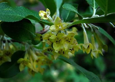 5/25   Autumn Olive
