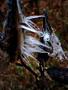11/15   Wet Milkweed Seeds