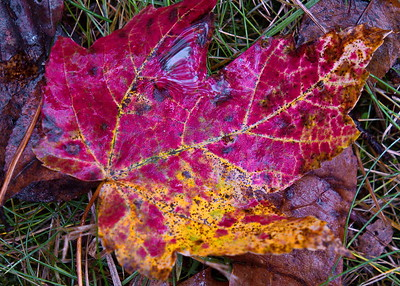 11/12   Beautiful Leaves in Lawn