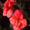 11/10   Begonia Blooming Indoors