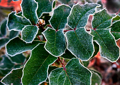 11/14   Frosty Holly Leaves