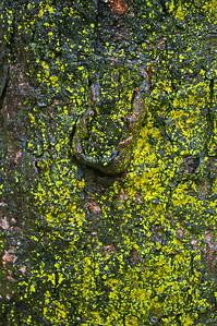 11/5   Lichens on Butternut Tree