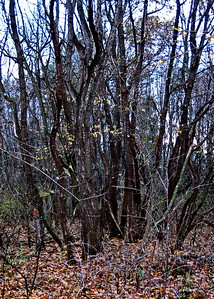 11/19   Mixed Grove Trees