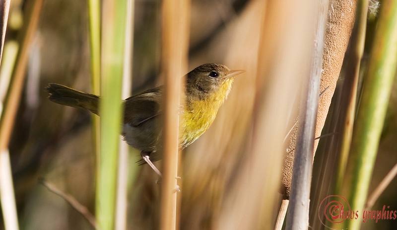 """Quick glimpse<br /> <br /> (Dec. 28, 2008) I seem to be on a """"hidden-in-the-brush"""" kick. I am guessing this is a female Lesser Goldfinch but am willing to stand corrected."""