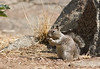Ground squirrel<br /> <br /> (June 30) Nothing exciting, just a ground squirrel being a squirrel.
