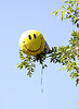 Apparently happiness does grow on trees<br /> <br /> (June 22) Who knew? This is a rare Helium kitschei tree with fully ripe fruit.