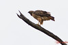Rodent Control<br /> <br /> (Dec. 17, 2010) I came across this red tail hawk eating something small and a little grassy too.