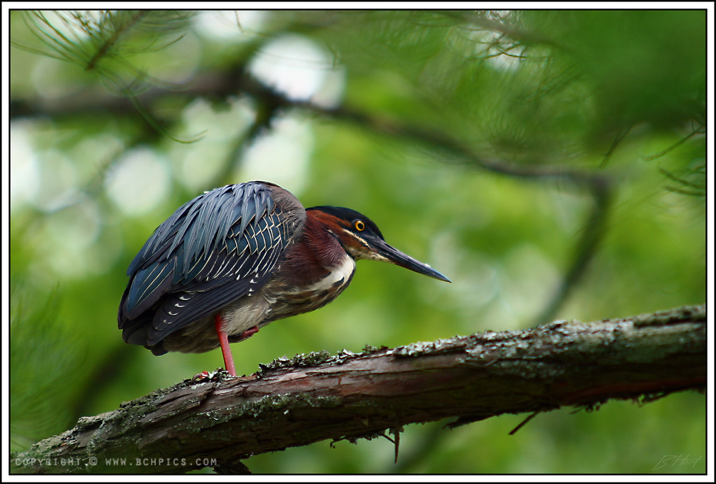 "May 11, 2008  Green Heron-  Post: -crop ~35% -manual curves adj, using this <a href=""http://dgrin.smugmug.com/gallery/2292454_mjGJs"">tutorial</a> -unsharp mask 70%/5/10 &nbsp"