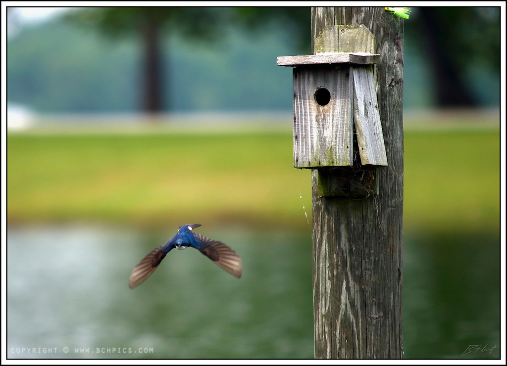 May 10, 2008<br /> <br /> A Tree Swallow....Making a grocery run-<br /> <br /> <br /> post:<br /> -rotated 2 deg<br /> -crop ~20%<br /> -unsharp mask 100/5/10<br /> -auto levels