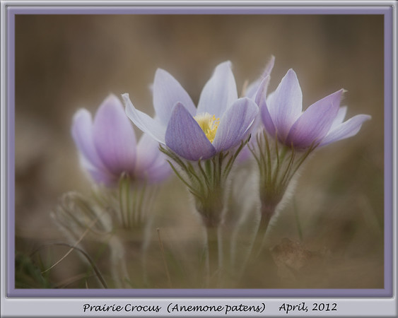 The end of my little Crocus series....  Yesterday we were hit by a late winter storm with bitterly cold winds, snow & well below freezing temps, so it's unlikely that the crocus will have survived. Sometimes they surprise me, so you never know... glad I took these while I could... :-))  Have an excellent week & thank you so very much for your comments. 04.10.12