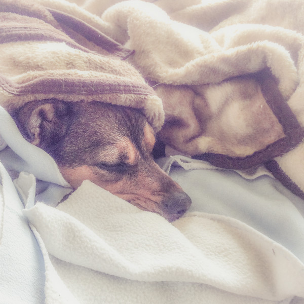 Chilly wet Shelby, needed some cuddle time to warm up after too long in the rain....<br /> <br /> I've been missing a few days - we're back in our routine of 4 days at the lake & 4 days home, so I'll post when I can and catch up with comments later today. Hope all is well with all of you!<br /> 05.22.15
