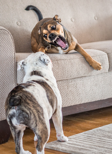Shelby has a playdate…. with her cousin, Ruby.<br /> <br /> Yes, they are playing & it went on for hours. <br /> <br /> Although Shelby looks like the tough guy here, Ruby, (the bulldog) who is only 8 months old, can certainly shell out her fair share of rough play!<br /> 12.20.14<br /> <br /> edit: Sorry I deleted comments by God's Child & Archtangent, but I had to repost this pic as it didn't show up in the DP gallery.... sorry guys, and thanks so much for leaving your comments.