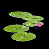 Water Lily<br /> MOBOT<br /> RL