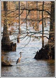 November 26, 2008  Blue Heron at Noxubee Wildlife Refuge, MS