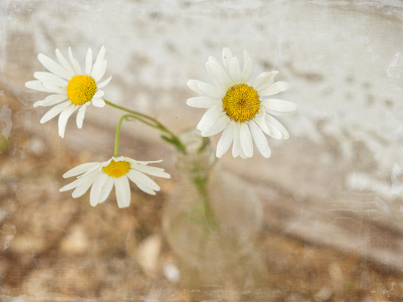 3 little daisies, drooping in the heat...<br /> 07 06 15