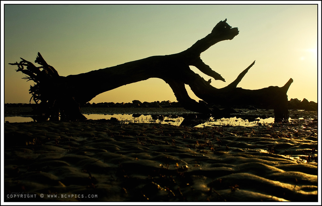 July 7th, 2008<br /> <br /> The 'Dog' Tree-<br /> <br /> Found on Driftwood Beach, Jekyll Island, GA-  Actually a tree we've been watching for several years-  The 'eye' is actually a hole in the tree...not post processing :)<br /> <br /> Post:<br /> -Contrast +5<br /> -Rotate ~2 deg and crop to match<br /> <br />
