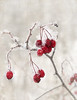 Red berries in the snow, Nature's splash of colour to brighten our day... 12.06.13