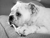 Meet Ruby, my  grand-puppy….<br /> <br /> My daughter's bulldog - she's quite the character. There is only one way to do anything and that is Ruby's way…. or it just doesn't get done! She's smart, funny, totally adorable and we love her to bits, of course!<br /> 01.29.15
