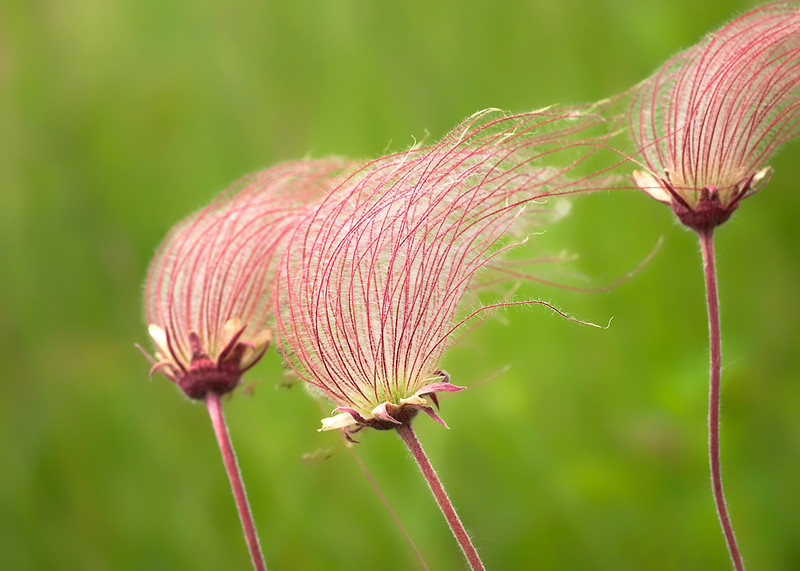 Happy Canada Day, eh?  Have a great Friday!  Easy to do if you're Canadian ..... it's a holiday AND a Long Weekend.... yaayy!! 07.01.11 (Seed plume of the Three Flowered Avens)  edit: Thanks, Beth.... I didn't know it was an American long weekend too... isn't it wonderful to be able to share it!! Have a great one everybody.....:-))
