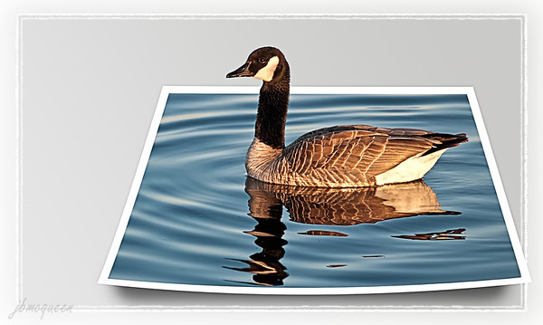 "My out of bounds goose... :-))  The 3D, ""out of bounds"" look is so cool, I finally decided to give it a try & found a great tutorial here:  Gavin's Instructions  Thanks for all your wonderful comments on Mackenzie's FB shot, and yes! She loves it! 09.14.11 (And thanks Maryann/fotomom for fixing the link... :-))"