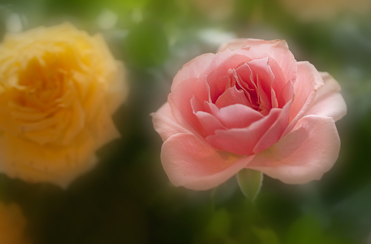 A rose for you on Easter Sunday.....  04.24.11