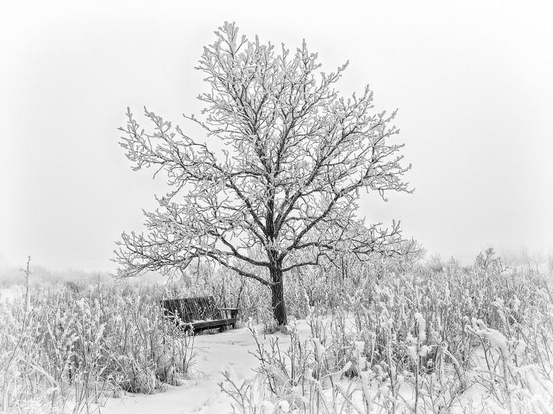 Our little oak tree on a frosty, foggy morning.... 02.09.12